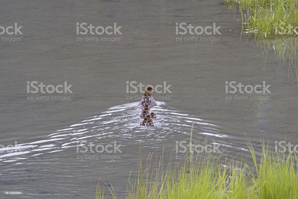 Merganser with 8 chicks stock photo