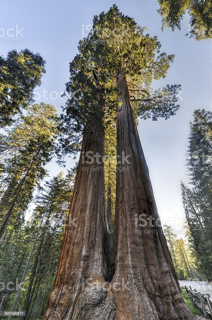 Merged Giant Sequoia Trees stock photo