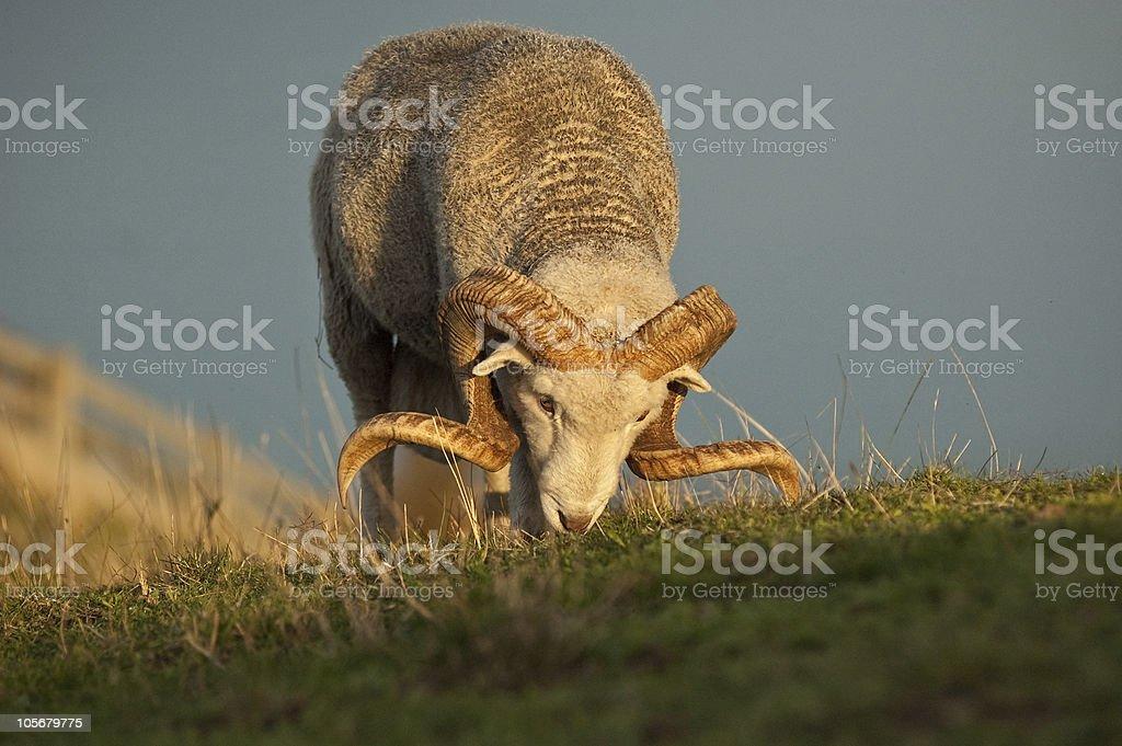 Merino Ram in Hilltop Paddock royalty-free stock photo