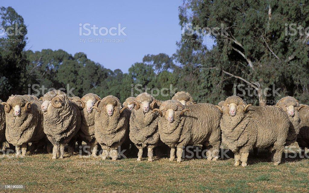 Merino rams stock photo