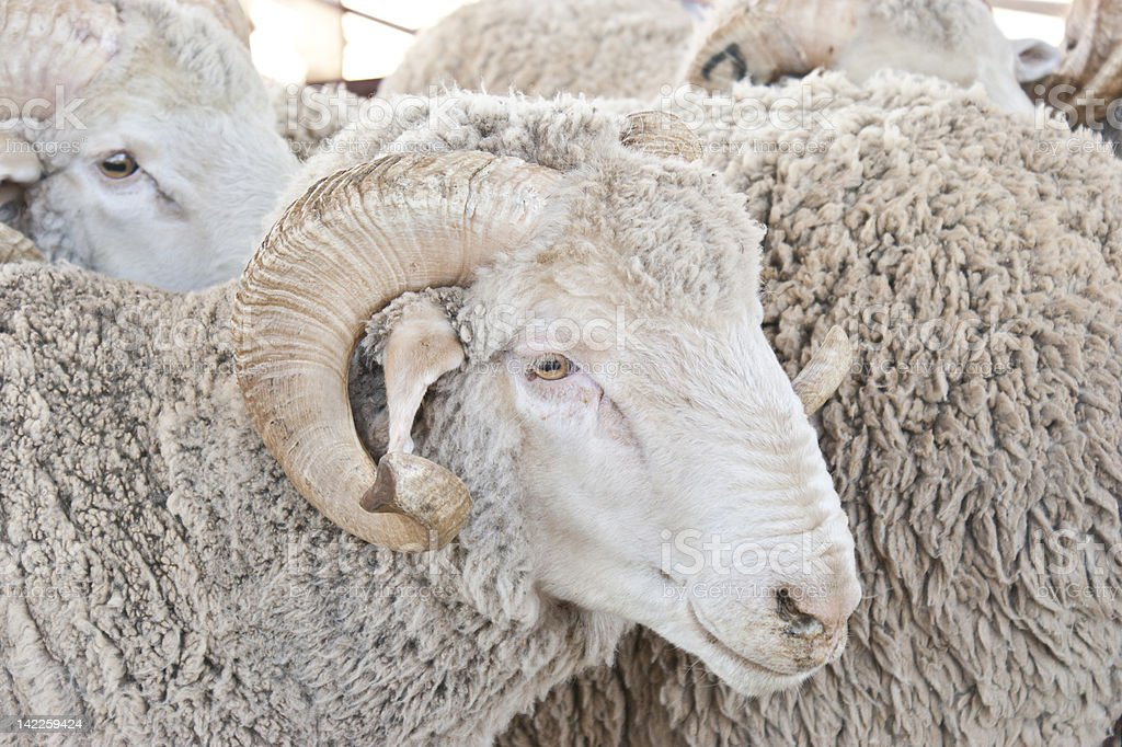 Merino Rams royalty-free stock photo