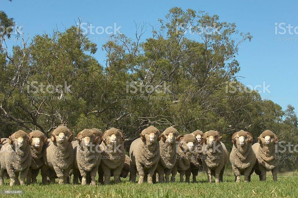 Merino Rams royalty-free stock photo