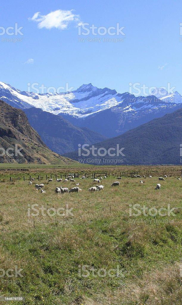 Merino Sheep and Mt. Aspiring stock photo