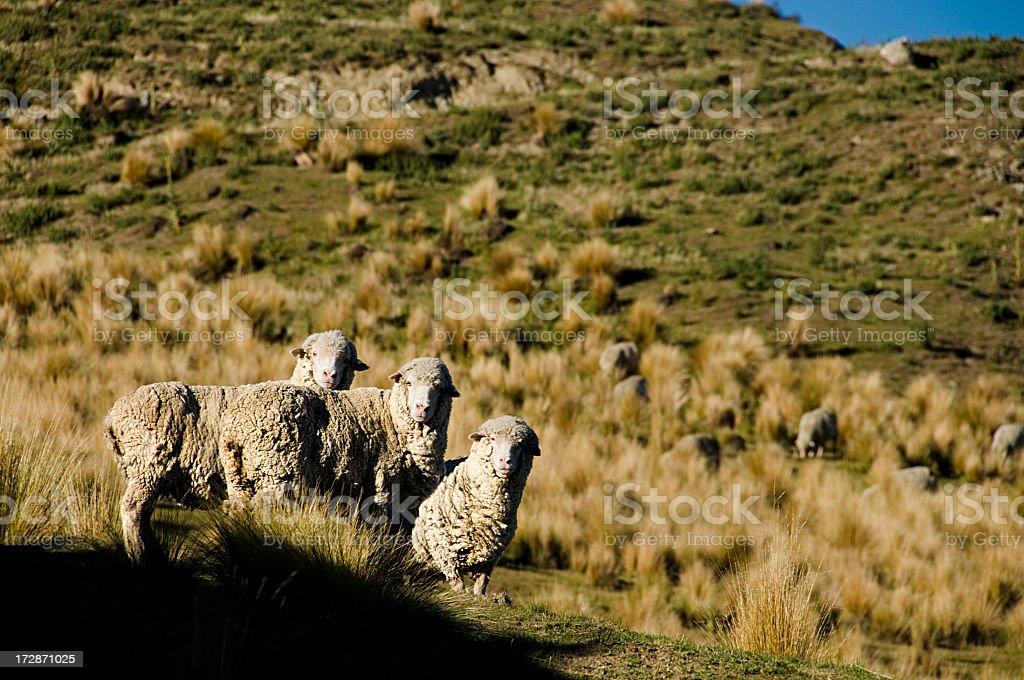 Merino Sheep royalty-free stock photo