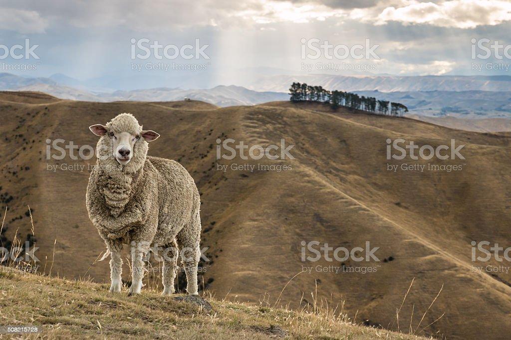 merino sheep standing on grassy hill stock photo
