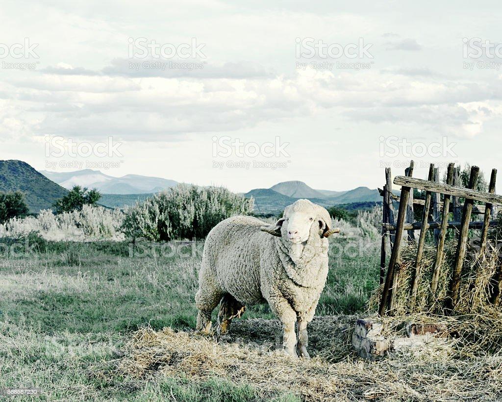 Merino Sheep Stud, Graaf Reinet, Karoo South Africa stock photo