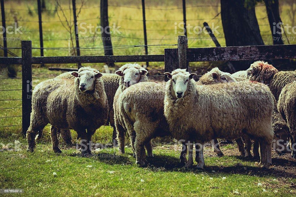 Merino sheeps stock photo