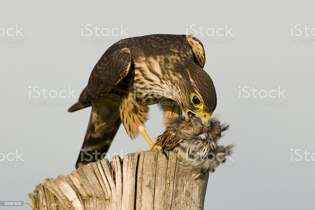 Merlin and prey stock photo
