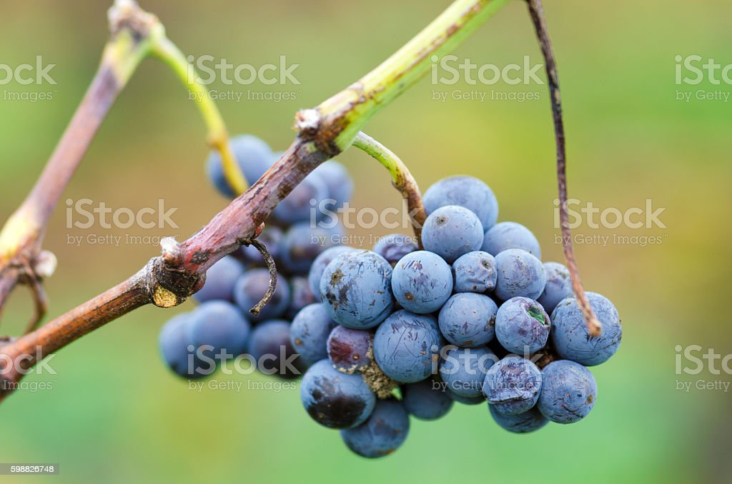 Merlot cluster with rotten grapes on a vine. Selective focus stock photo