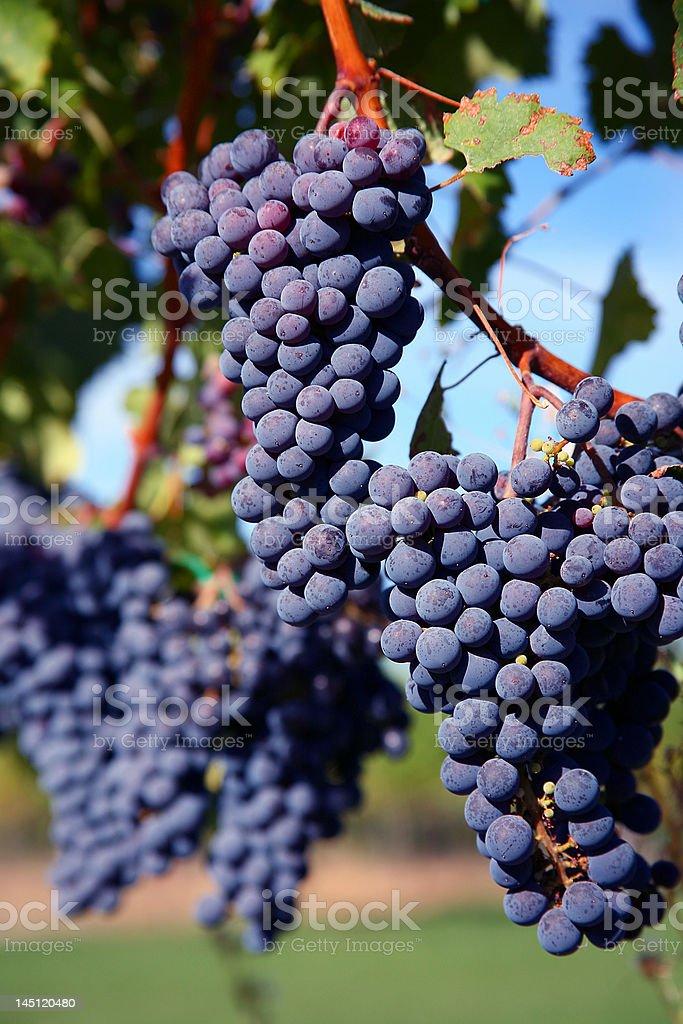 Merlot Grapes in Vineyard royalty-free stock photo