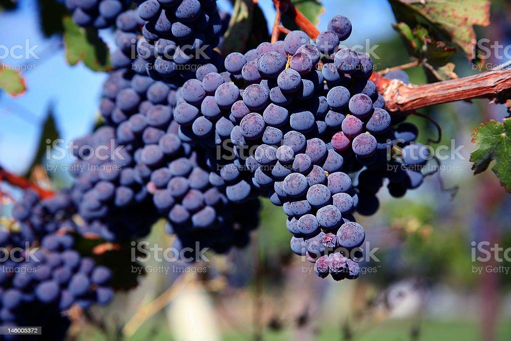 Merlot Grapes in Vineyard stock photo