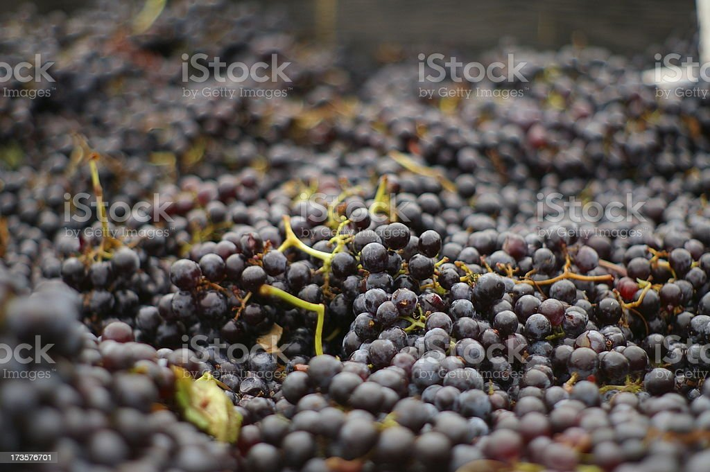Merlot Grapes royalty-free stock photo