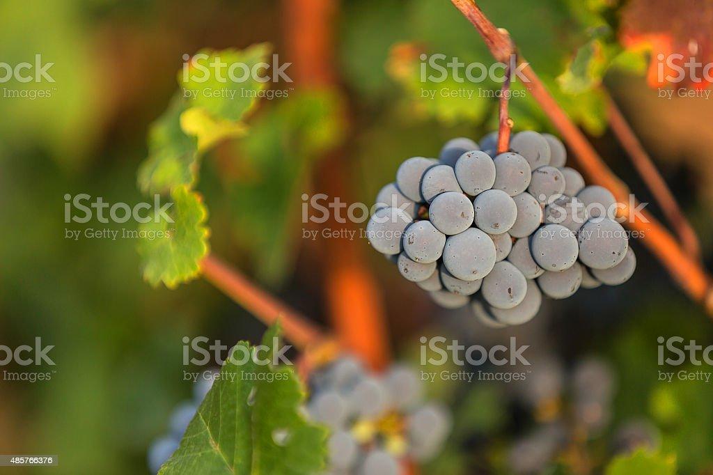 Merlot grapes stock photo