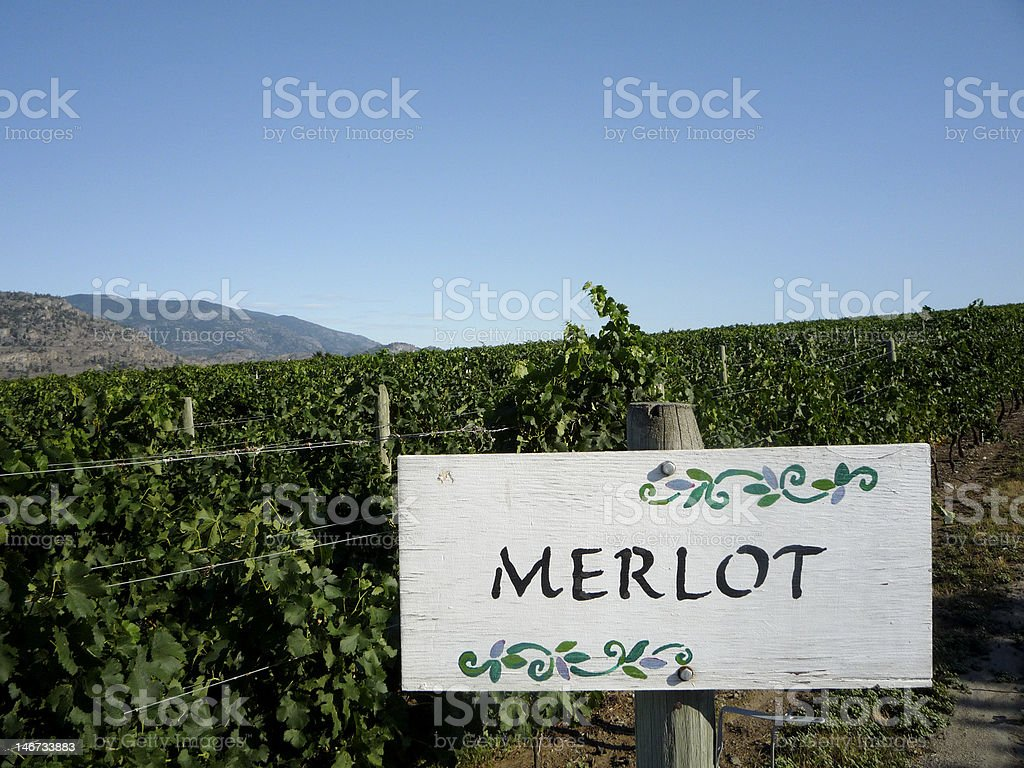 Merlot vineyards stock photo