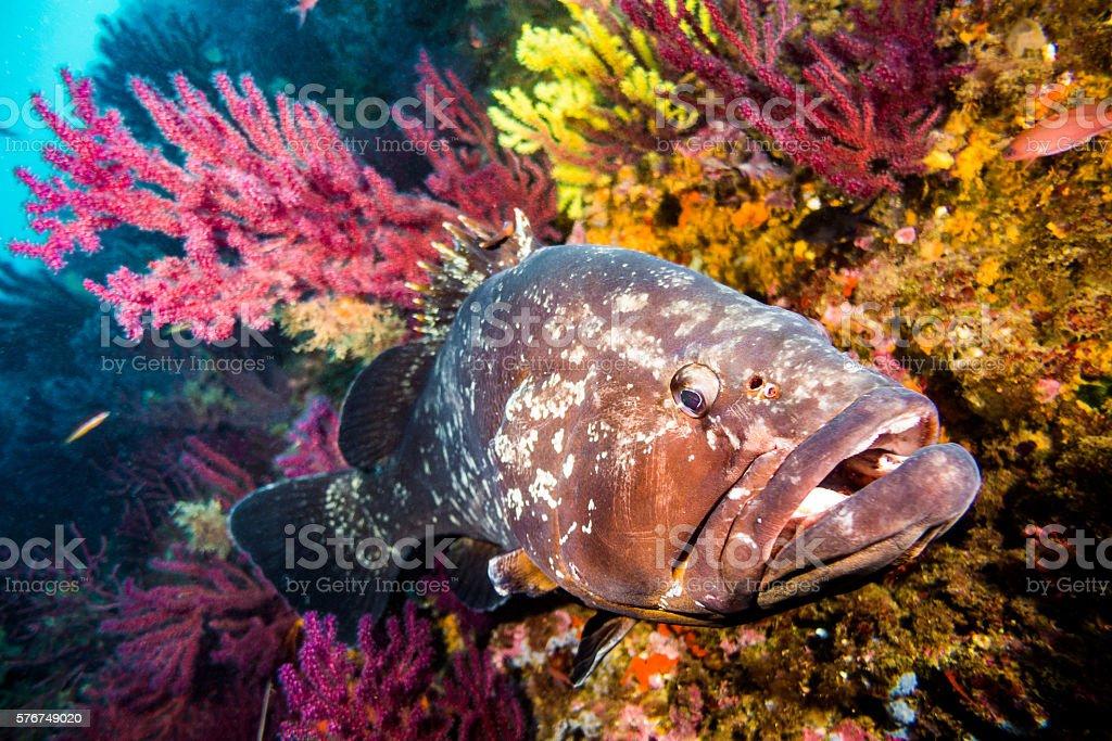 mero cherna coral Epinephelus marginatus Epinephelinae horizontal open mouth gorgonia stock photo