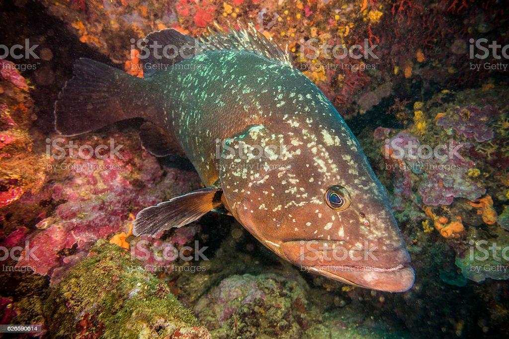 mero grouper illes medes costa brava spain fish stock photo