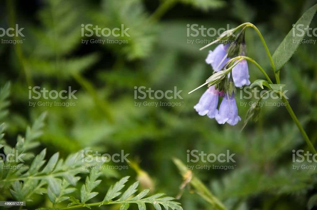 Mertensia arizonica stock photo