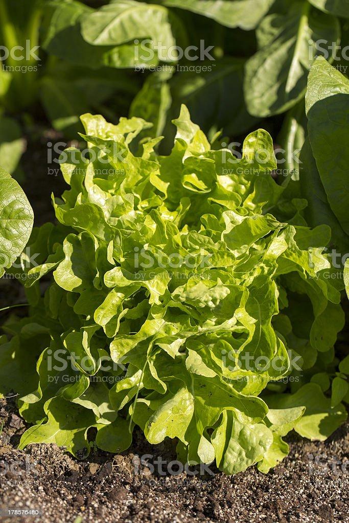 Mesculen Lettuce royalty-free stock photo