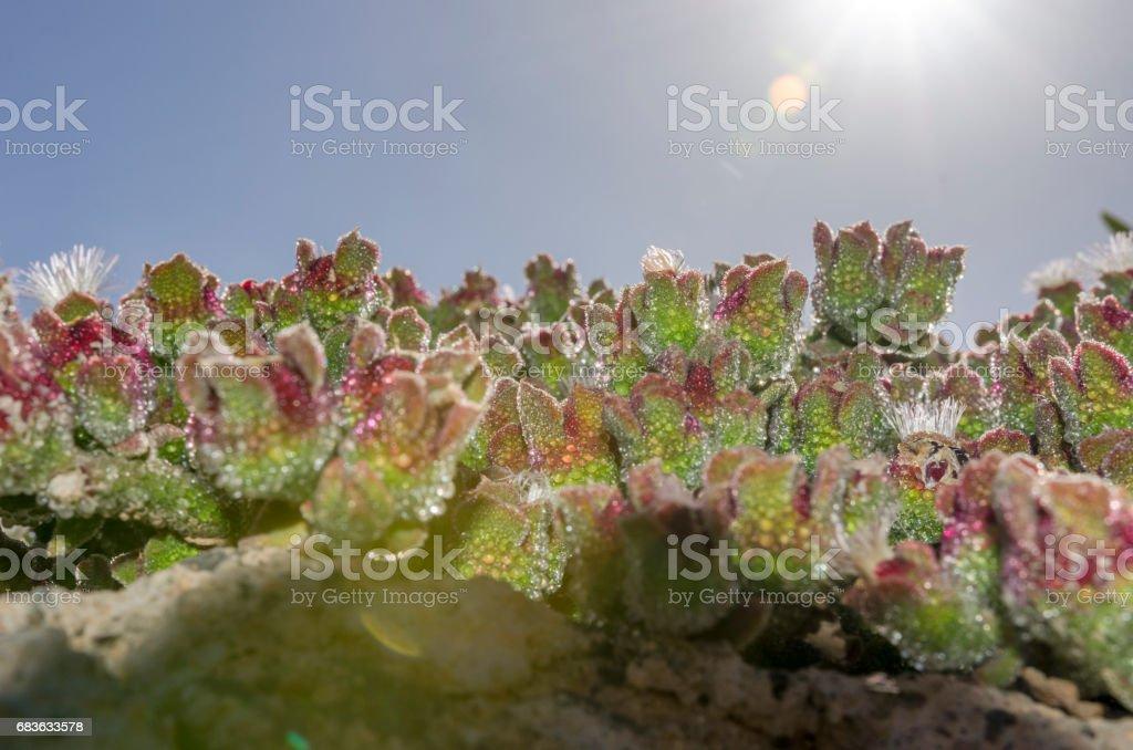Mesembryanthemum crystallinum in Fuerteventura, Canary Islands, Spain. stock photo