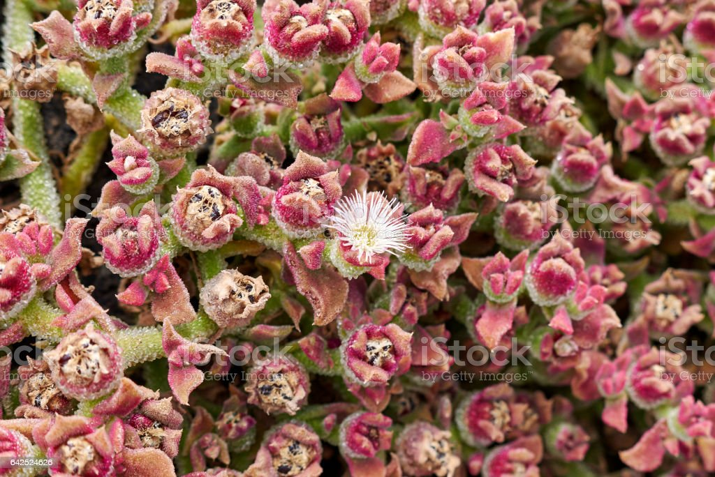 Mesembryanthemum crystallinum stock photo
