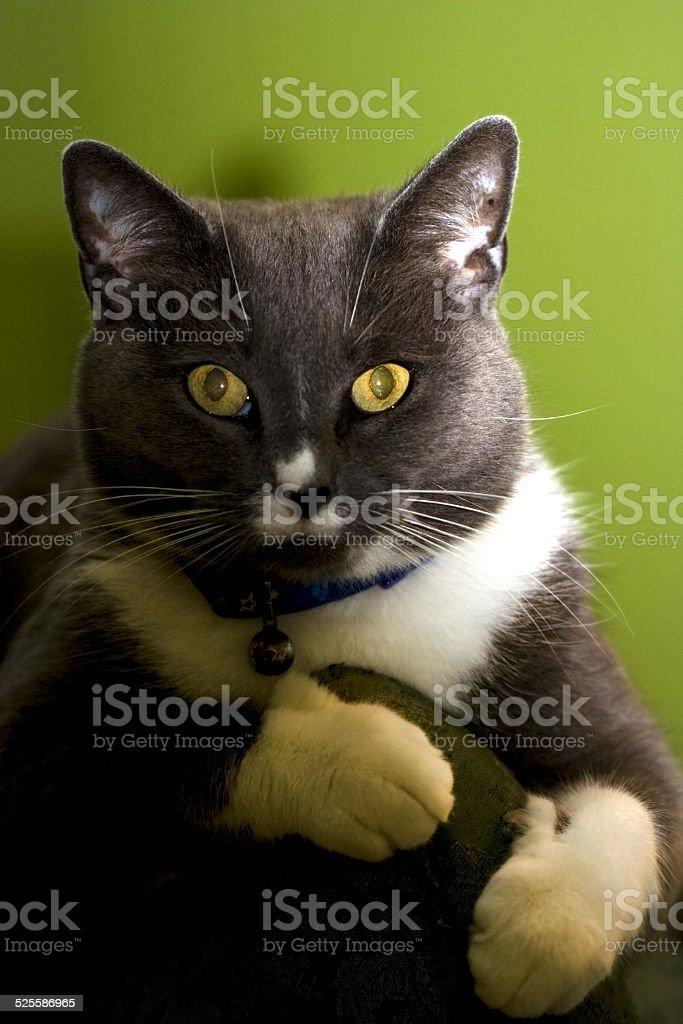 Mesmerizing Hypnotic Cat Stare stock photo