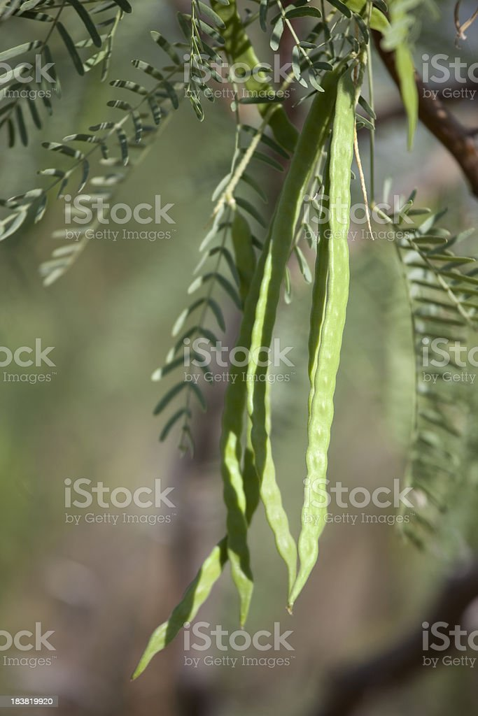 Mesquite Beans Hanging on Tree royalty-free stock photo