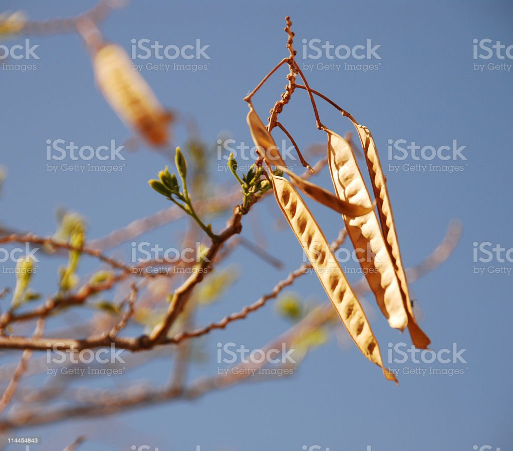 Mesquite Seed Pods royalty-free stock photo
