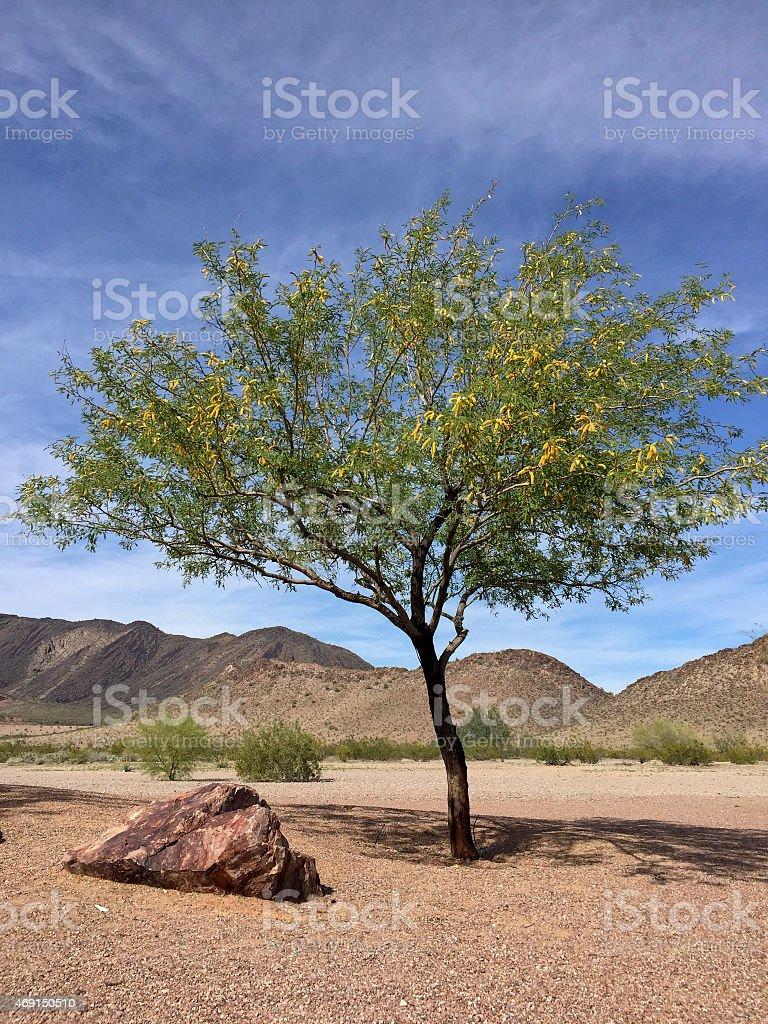 Mesquite tree in Arizona desert stock photo