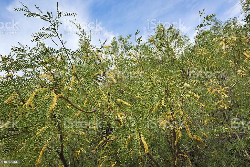 Mesquite tree royalty-free stock photo