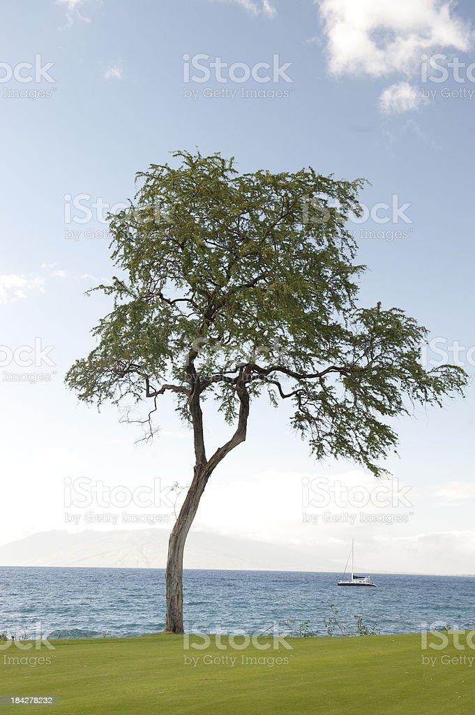 Mesquite Tree stock photo