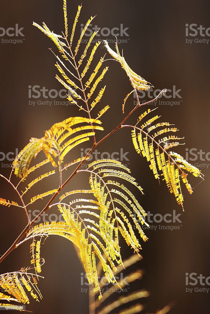 Mesquite Tree Prosopis velutina royalty-free stock photo