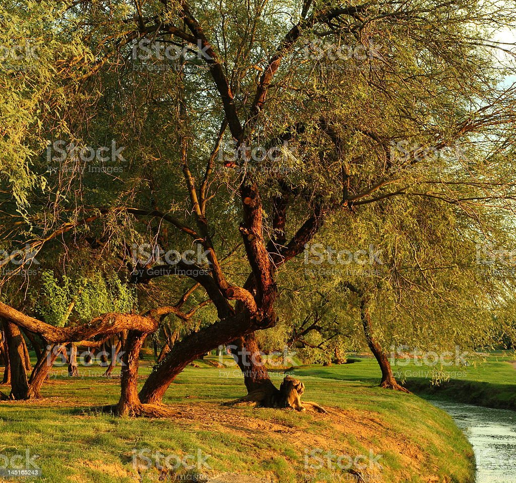 Mesquite trees in a park at sunset useful as background stock photo