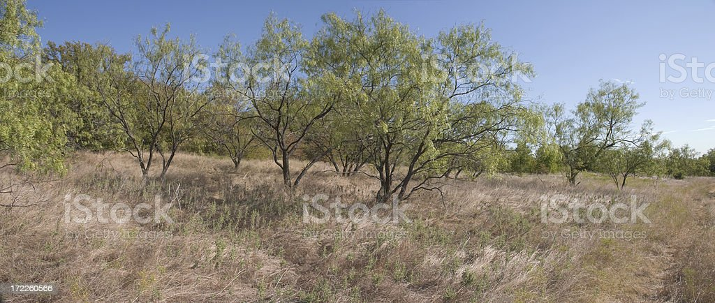 mesquite trees royalty-free stock photo