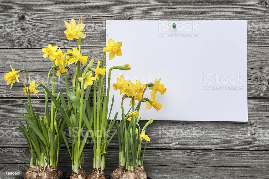 Message and spring daffodils stock photo