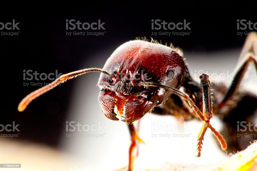 Messor structor Ant stock photo