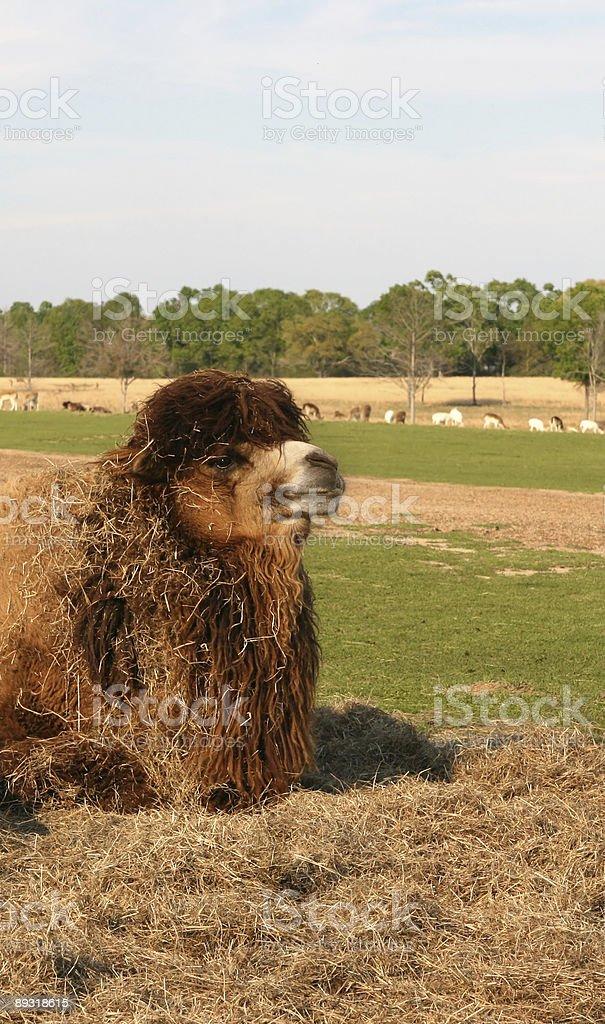 Messy Camel royalty-free stock photo