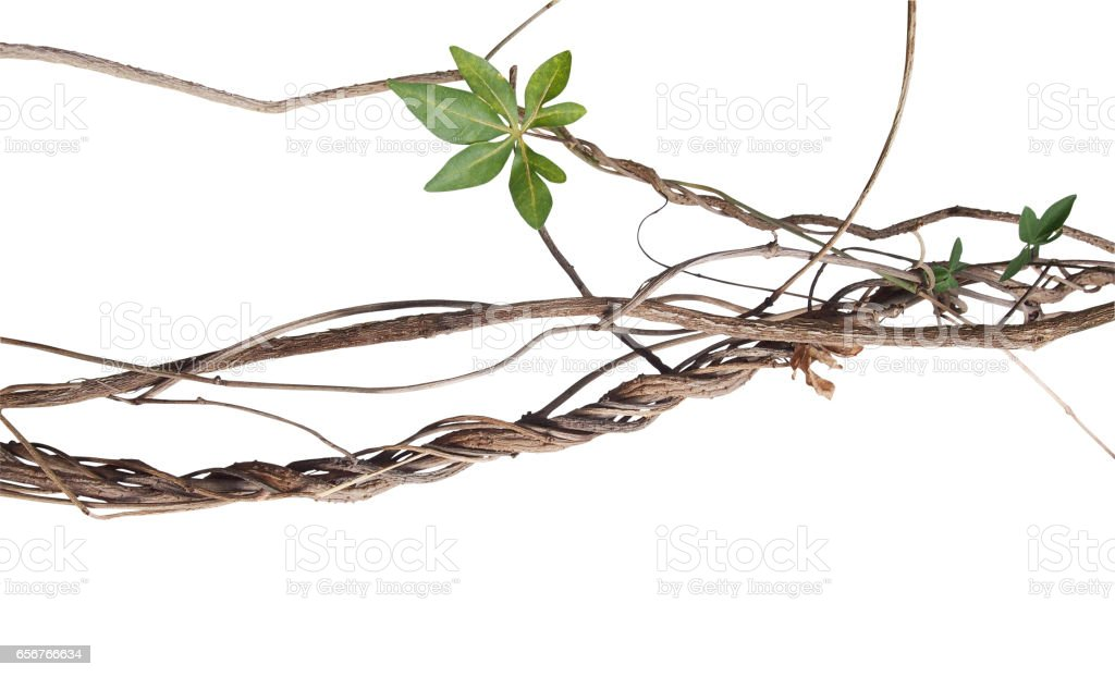Messy twisted jungle dried vines with green palmate leaf of wild morning glory isolated on white background, clipping path included. stock photo