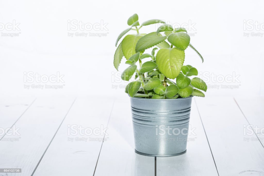 Metal pot of mint on a white table in the kitchen stock photo