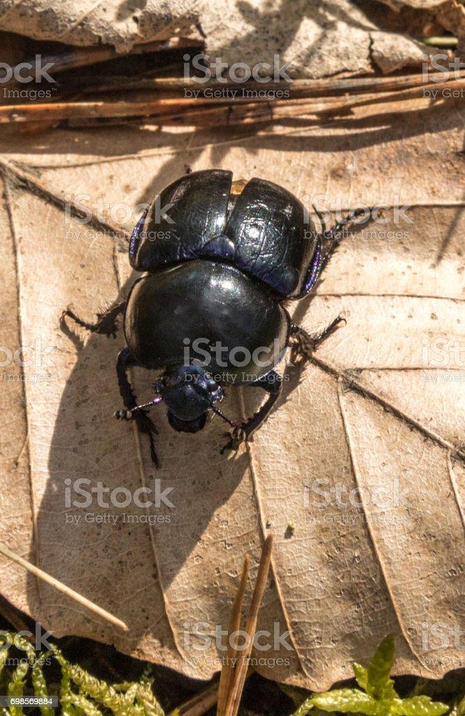 Metallic beetle stock photo