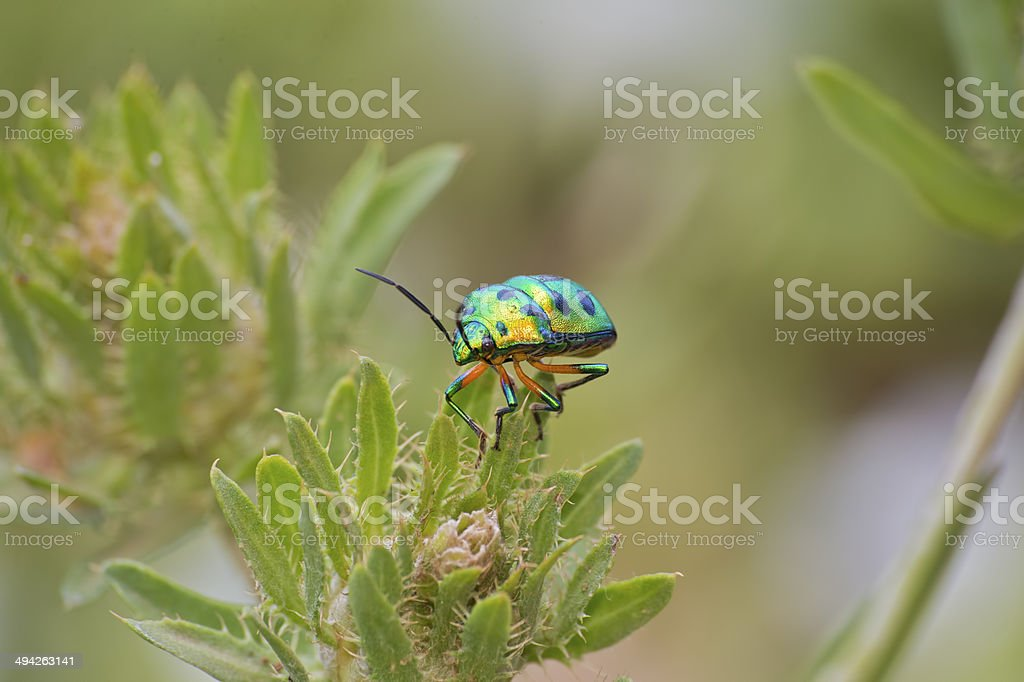 A fluorescent colorful green beetle flew to these cactus leaves where...