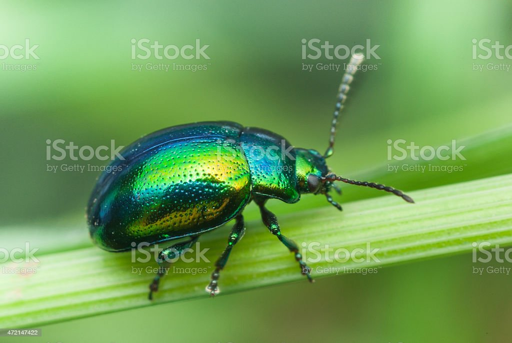 metallic green bug on a leaf stock photo