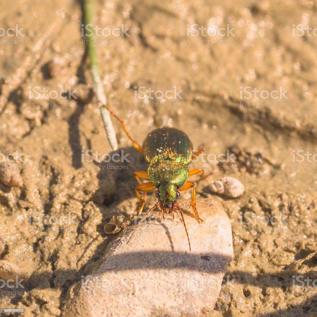 Metallic Ground Beetle stock photo