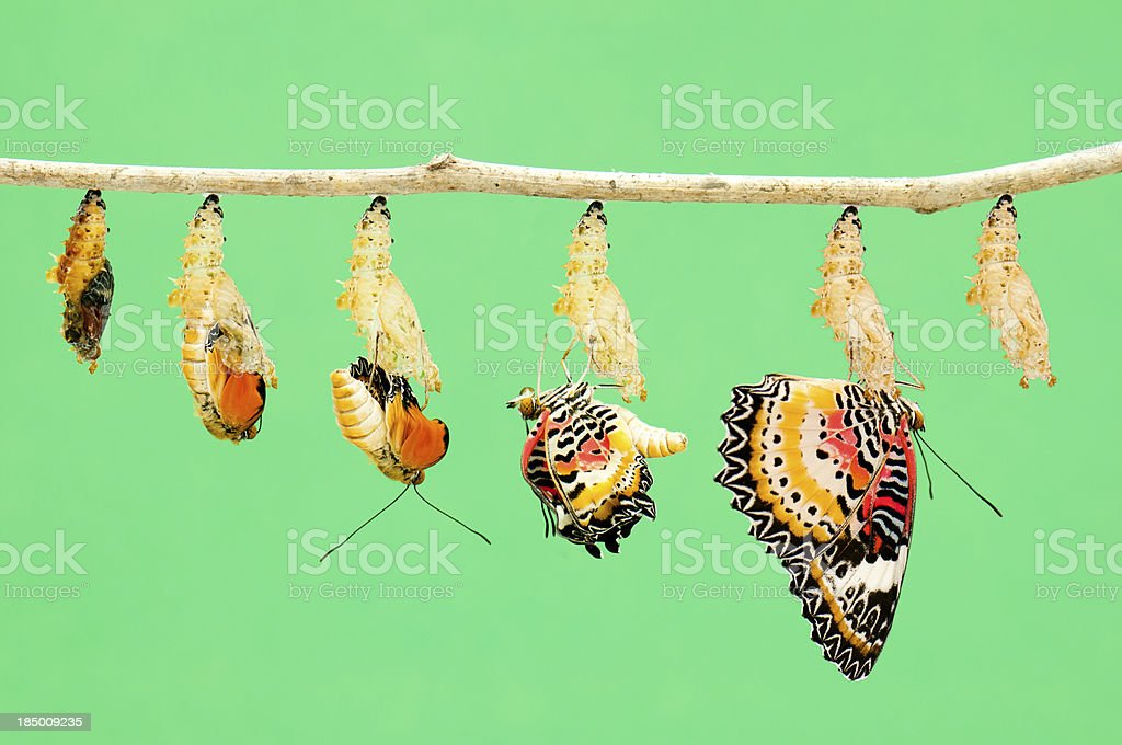 Metamorphosis of butterfly stock photo