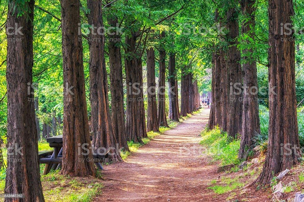 metasequoia park in haneul park stock photo