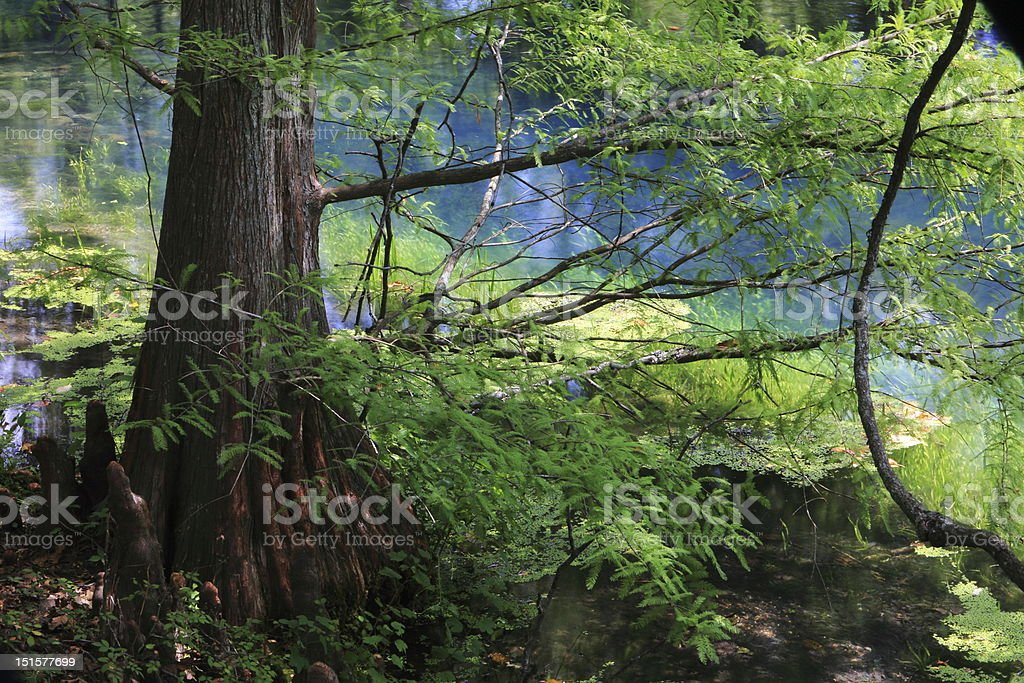 metasequoia stock photo