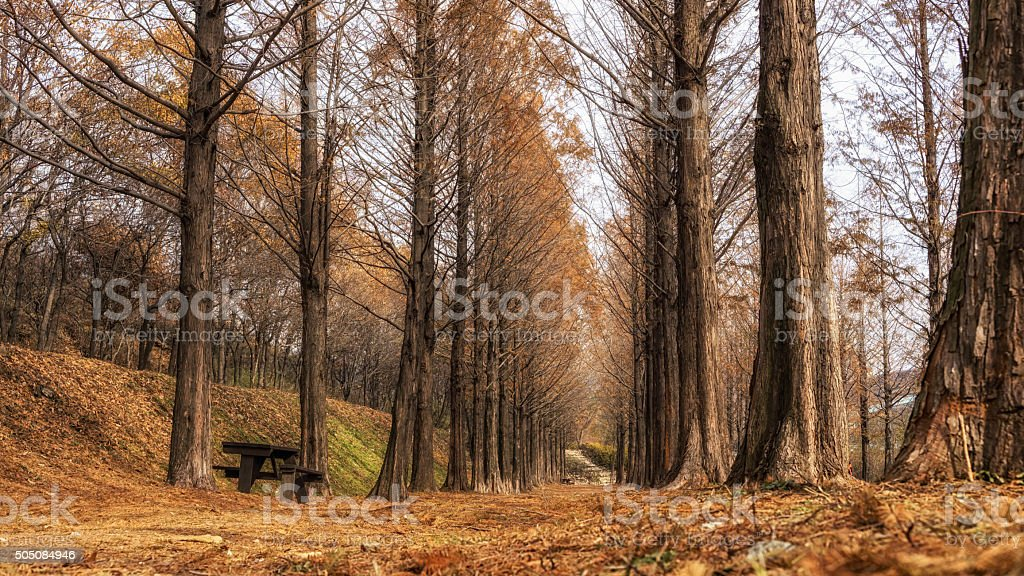 metasequoia road in seoul stock photo