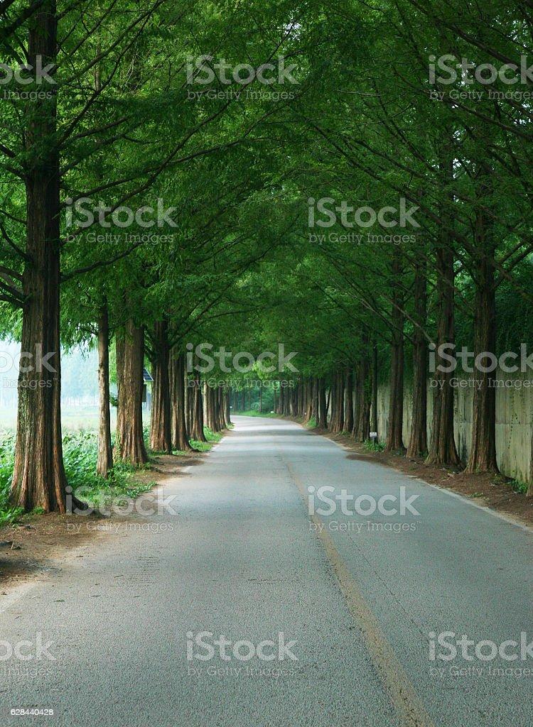 metasequoie road stock photo