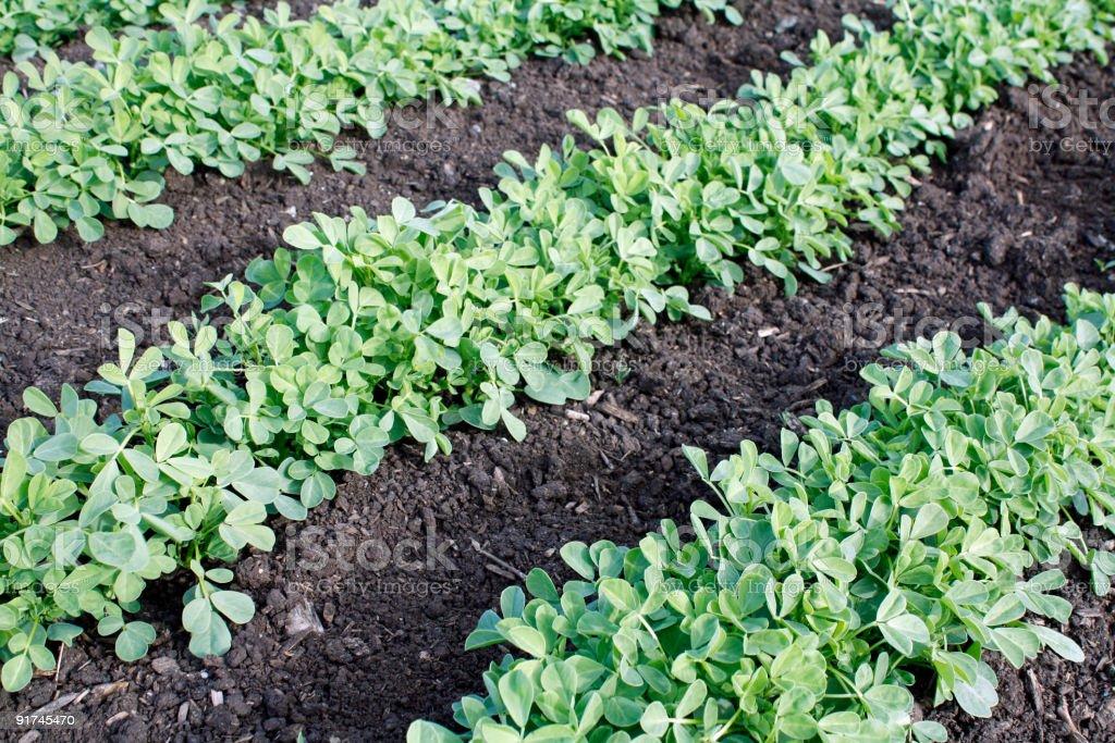 Methi vegetable farming stock photo
