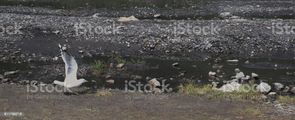 Mew Gull at Savage River stock photo