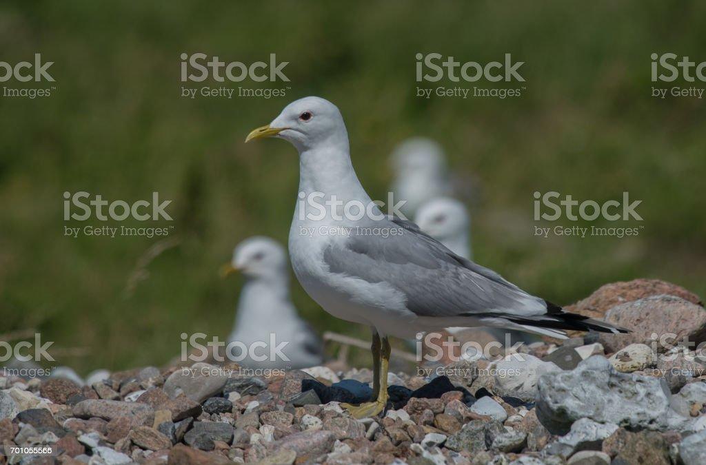 Mew gull in Denmark stock photo